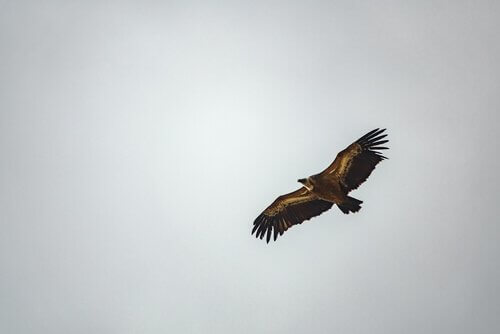 Un avvoltoio vola con le ali spiegate