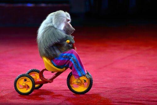 Babbuino al circo