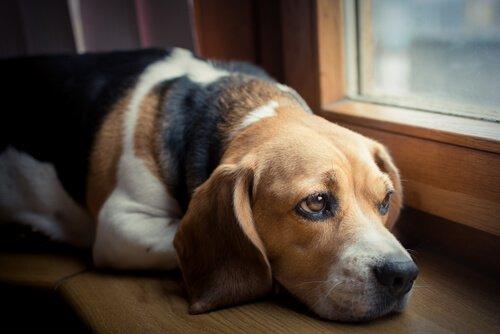 un beagle guarda con paura fuori dalla finestra