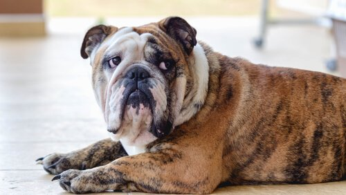 un bulldog maculato disteso con lo sguardo intimidito