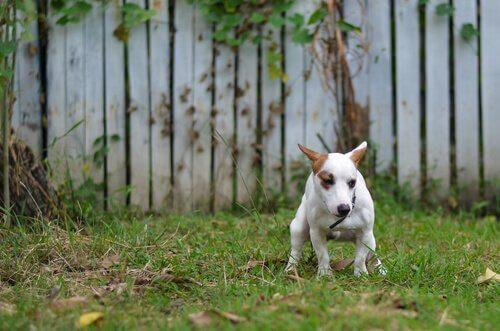 cane bianco e marrone fa i bisogni in giardino