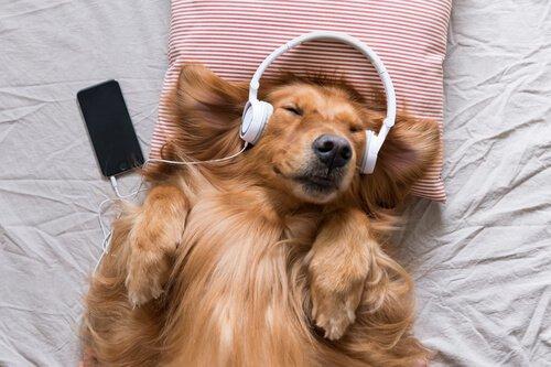 un cane a pelo lungo rosso ascolta musica in un letto