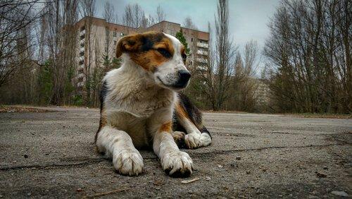un cane accucciato davanti ai palazzi di Chernobyl