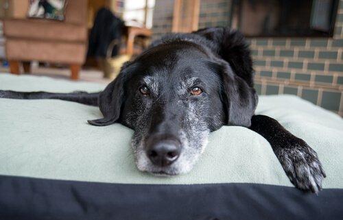 un cane anziano sdraiato su un tappeto