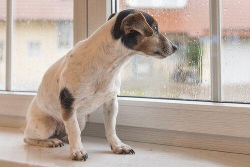 un cane guarda la pioggia fuori dalla finestra
