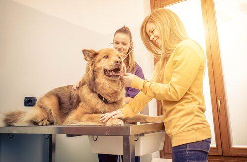 un cane lupo curato da due ragazze