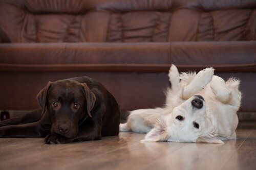 un cane marrone e uno bianco sdraiati in un salotto
