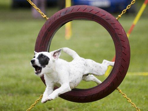 un cane passa attraverso un ostacolo di agility