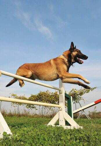 un cane salta un ostacolo di agility
