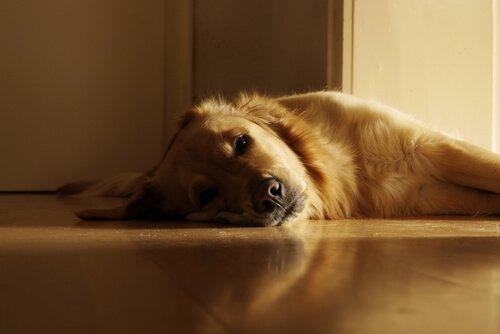 un cane sdraiato sul pavimento di casa