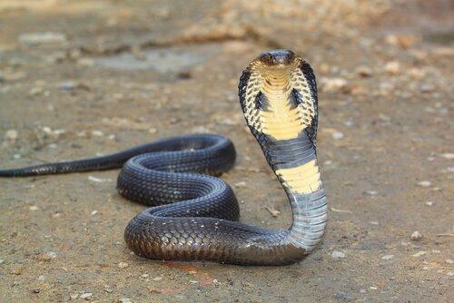 un cobra grigio e giallo striscia con la testa in alto