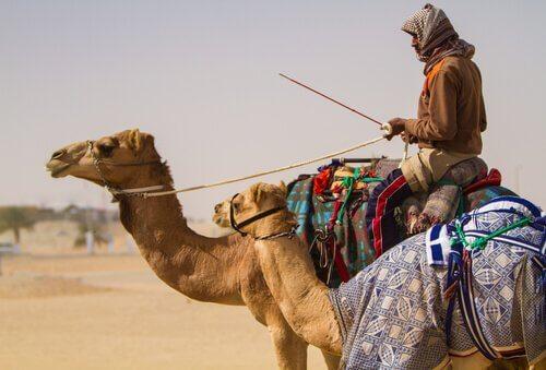 uomo nel deserto in sella ad un Cammello arabo