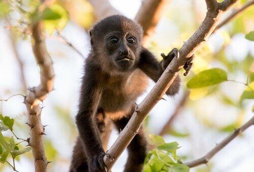 un cucciolo di scimmia urlatrice si arrampica