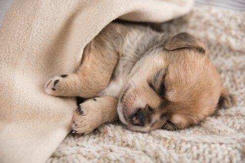 un cucciolo dorme sotto le coperte in un letto