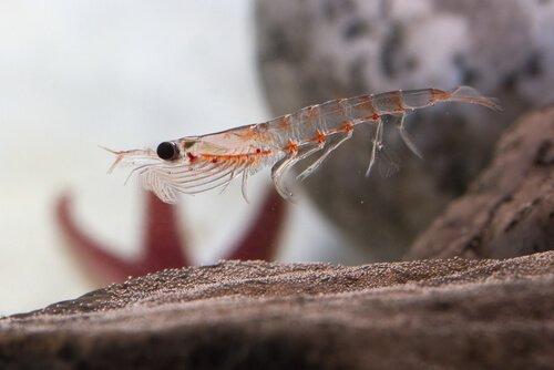 Krill antartico, la specie animale più abbondante sul pianeta