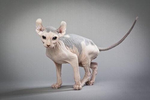 Gatto elfo, il felino nudo dalle orecchie ricurve