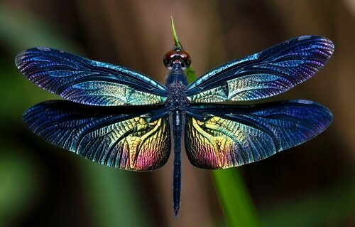 Libellule, gli insetti alati più affascinanti