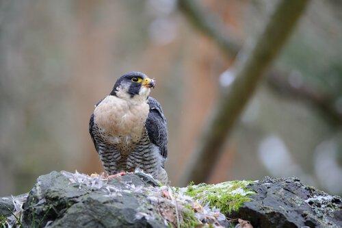 Un falco scruta il bosco dall'alto