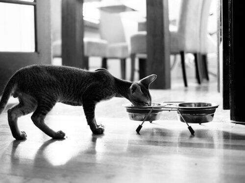 un gatto con poco pelo mentre mangia