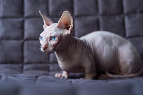 Come prendersi cura di un gatto senza peli