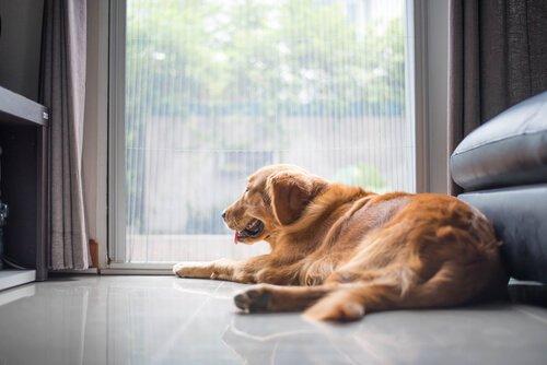 un golden retriver disteso guarda oltre la finestra