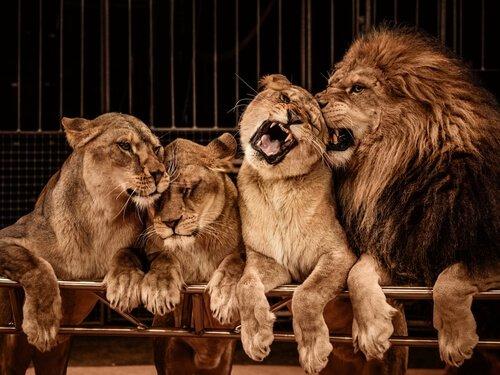 un gruppo di leoni appoggiati a una ringhiera di uno zoo