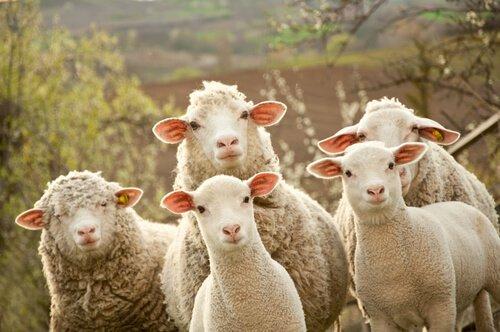 Tutto sulla riproduzione delle pecore