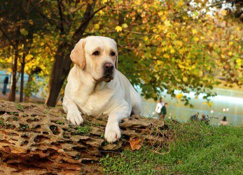 Labrador accucciato su un tronco