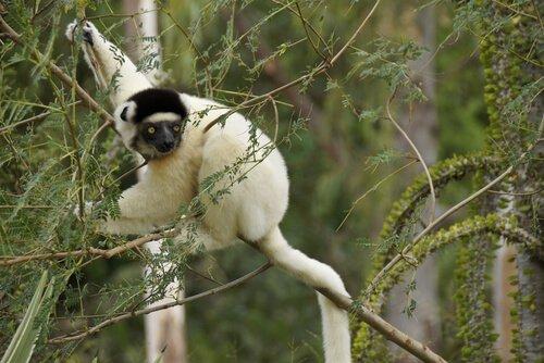 Lemuri: tutto ciò che bisogna sapere