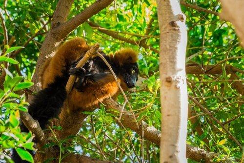 un lemure rosso e nero tra le fronde di un albero