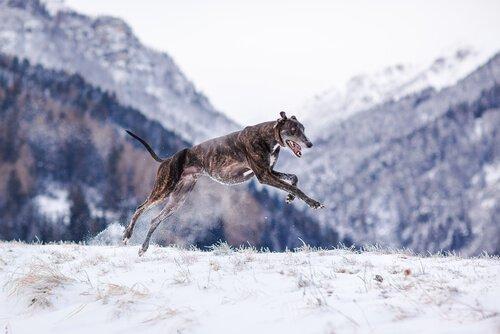 un levriero ungherese salta sulla neve