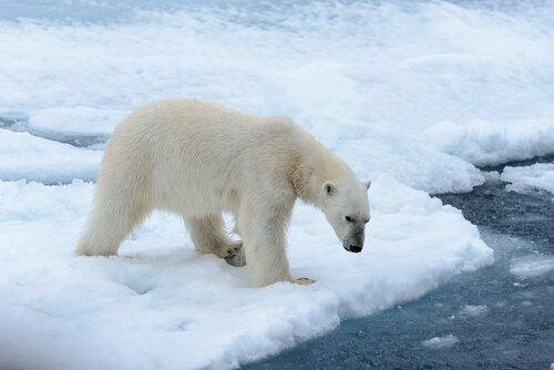 Curiosità sull'orso polare che dovete conoscere