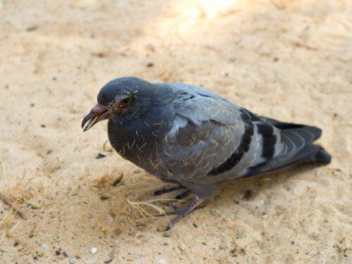 Malattie dei piccioni: quali sono, sintomi e rimedi