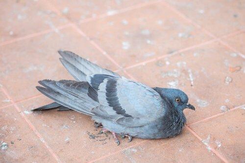 un piccione malato sdraiato di lato sul suolo