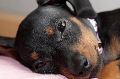 un piccolo cane con la testa appoggiata dorme