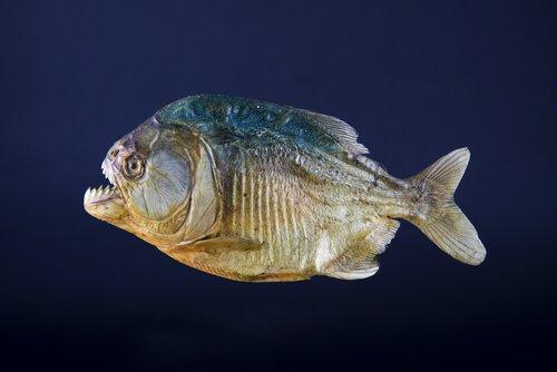 un piranha visto di profilo