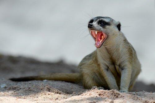 un suricato con la bocca aperta seduto sulla sabbia
