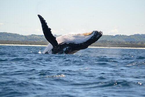 Grandi cetacei: quali sono, caratteristiche e curiosità