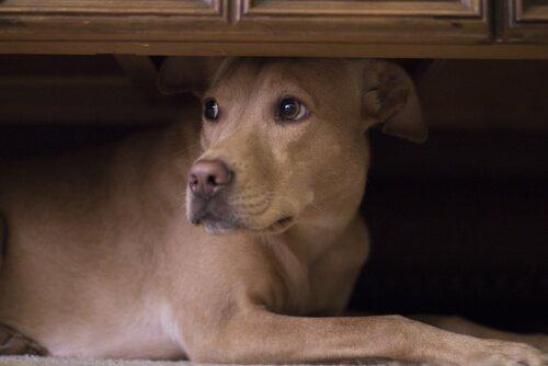 una cagnolina meticcia si nasconde sotto un tavolo
