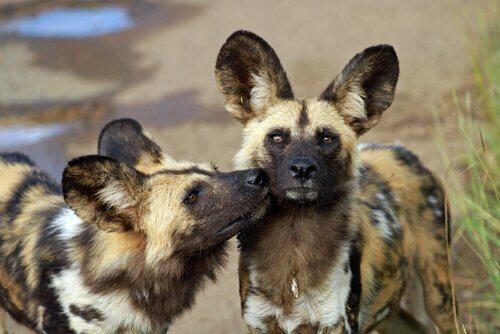 Licaone, il cane selvatico africano