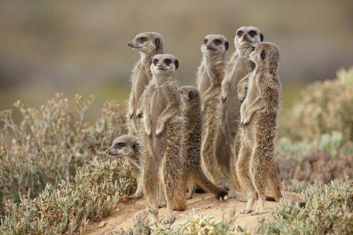una gruppo di suricati in posizione di difesa e controllo