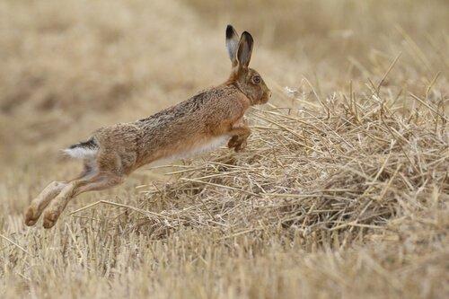 una lepre che salta tra il grano
