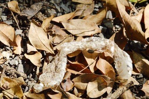 Una pelle di serpente dopo la muta tra delle foglie