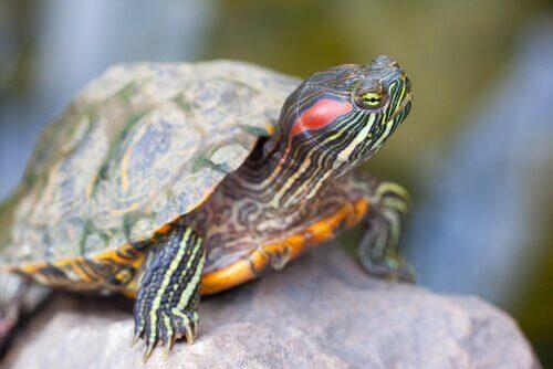 Tartaruga dalle orecchie rosse su un sasso