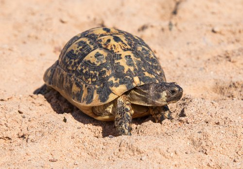 Tartaruga cammina nella sabbia