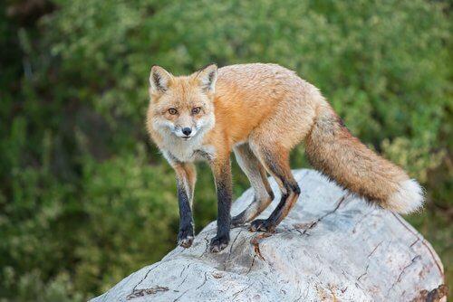 una volpe adulta su un tronco di albero