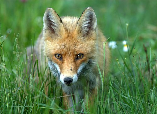 una volpe si aggira silenziosa tra ciuffi d'erba