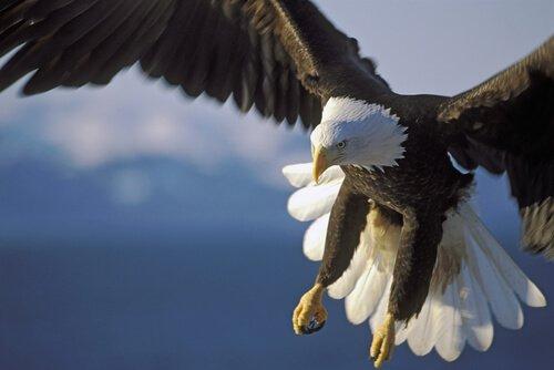 Aquila testa bianca mentre decolla