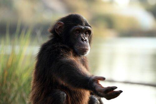 Scimpanzè che chiede noccioline ai visitatori