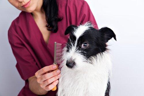veterinaria pettina un cagnolino piccolo